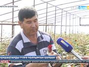 Қазығұрт ауданының Тұрбат ауылында жылыжайға егілген  раушан гүлдер бүршік ата бастады