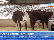 Батыс Қазақстан облысының Қоскөл ауылында белгісіз аурудан мал қырылып жатыр