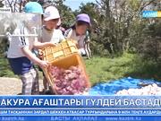 Жапонияда сакура ағаштары гүлдей бастады