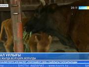 Қызылорда облысында үш жылда 80 ірі қара жоғалған