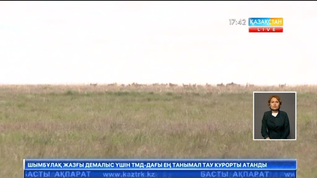 Батыс Қазақстанда киіктердің төлдеу науқаны аяқталып келеді
