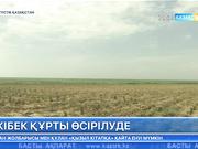 Оңтүстік Қазақстан облысында жібек құрты өсірілуде