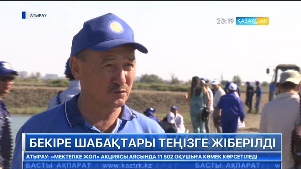 Атырау бекіре зауыты теңізге 3 млн. 600 мың шабақ жіберді