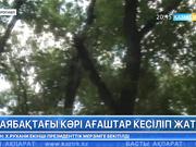 Петропавлдың ескі саябағында 2000 түп ағаш кесіледі
