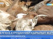 Атырау облысының Исатай ауданында белгісіз аурудан мал қырылып жатыр