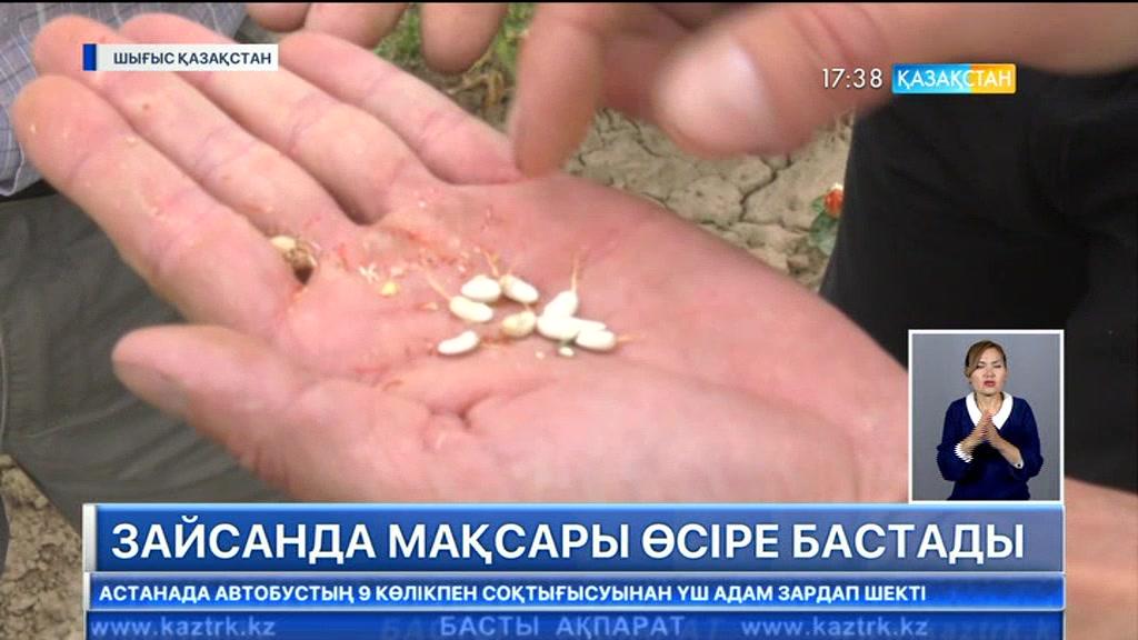 Шығыс Қазақстан облысындағы шаруалар мақсары өсірудің қыр-сырын меңгере бастады