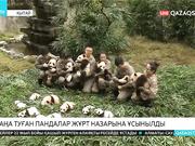 Қытайдың Сычуань провинциясында жаңа туған 36 панда жұрт назарына ұсынылды