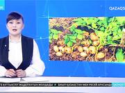 Картоп бағасы заңсыз көтерілген болуы мүмкін