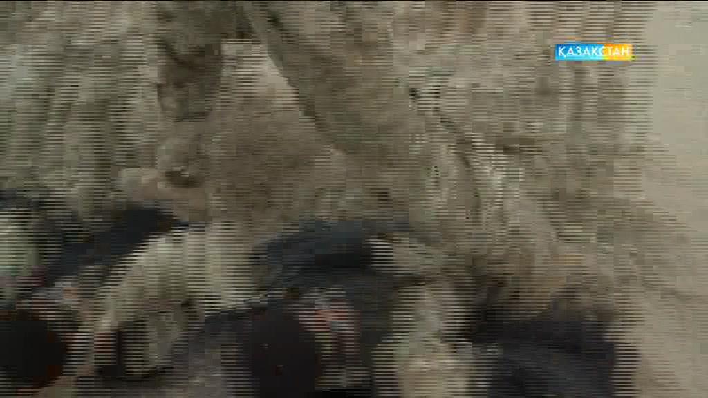 «Ақсауыттың» келесі саны қайсар мінезді қара береттілер жайлы болмақ