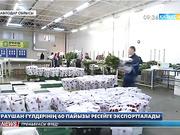Екібастұздағы голланд раушан гүлдері шетелге экспортталуда