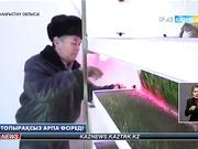 Жаңаөзендік тұрғын топырақсыз арпа өсіріп, малдарын жемдеп отыр