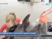 Жаңа Зеландияда жүздеген кит теңіз жағасына шығып қалды