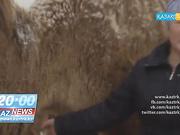 «KazNews»-тің қорытынды жаңалықтарында: Маңғыстаудың киесі - түйенің жүнін өткізетін, өңдейтін орын керек