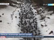 Үйректер Петерборда қыстап қалды